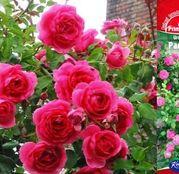 Butasi de trandafiri Urcatori Roz Parade
