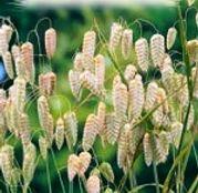 Seminte flori Tremurici (Briza maxima) 1g