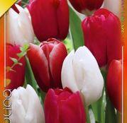 Bulbi de flori Lalele Trio Easter Monday 9buc
