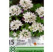 Bulbi de flori Triteleia lactea Hyacintha 15buc