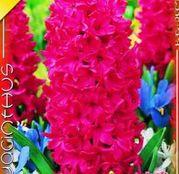 Bulbi de flori Zambile Jan Bos 3 buc