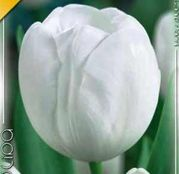 Bulbi de flori Lalea White Dream 10buc