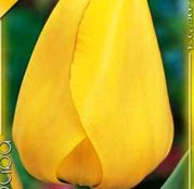 Bulbi de flori Lalea Golden Apeldoorn 10buc