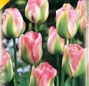 Bulbi de flori Lalea Groenland 10buc