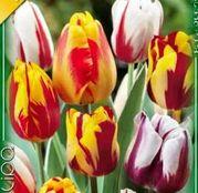 Bulbi de flori Lalea Rembrandt Mixed 10buc