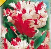 Bulbi de flori Lalea Estella Rijnveld 10buc