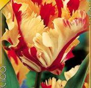 Bulbi de flori Lalea Flaming Parrot 8buc