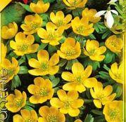 Bulbi de flori Eranthis cilicica 10buc