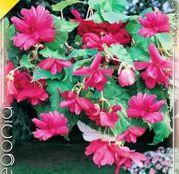 Bulbi de flori Begonia Pendula Pink 3buc