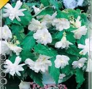 Bulbi de flori Begonia Pendula White 3buc