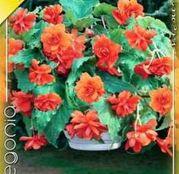 Bulbi de flori Begonia Pendula Orange 3buc