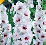 Bulbi de flori Gladiole Fiorentina 10 buc