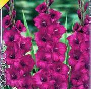 Bulbi de flori Gladiole Plumtart 10 buc