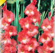 Bulbi de flori Gladiole Spic and Span 10 buc