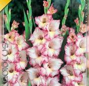 Bulbi de flori Gladiole Priscilla 10 buc