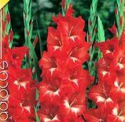 Bulbi de flori Gladiole Traderhorn 10 buc
