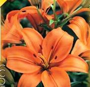 Bulbi de flori Crin Asiatic Hybrid Orange 1buc