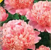 Bulbi de flori Bujori Paeonia Roz 1 buc