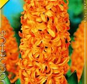 Bulbi de flori Zambile Gipsy Queen 3 buc