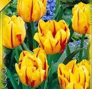 Bulbi de flori Lalea Monsella 10buc