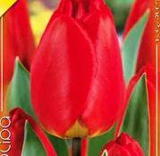 Bulbi de flori Lalea Apeldoorn 10buc