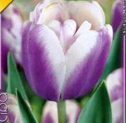 Bulbi de flori Lalea Atlantis 10buc