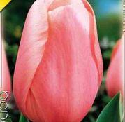 Bulbi de flori Lalea Menton 10buc