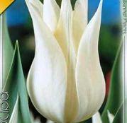 Bulbi de flori Lalea Sapporo 8buc