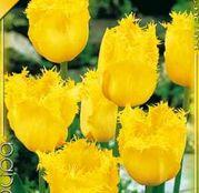 Bulbi de flori Lalea Fringed Hamilton/Crystal Star 10buc