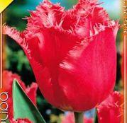 Bulbi de flori Lalea Fringed Red Wing 10buc