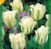 Bulbi de flori Lalea Spring Green 10buc