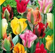 Bulbi de flori Lalea Viridiflora Mixed 10buc