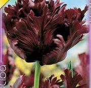 Bulbi de flori Lalea Black Parrot 8buc