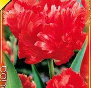 Bulbi de flori Lalea Bastogne Parrot 10buc