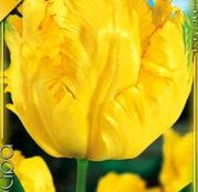 Bulbi de flori Lalea Texas Gold 10buc