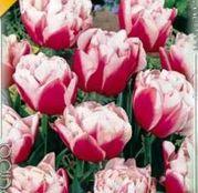 Bulbi de flori Lalea Gerbrandt Kieft 10buc