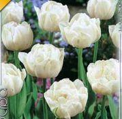 Bulbi de flori Lalea Mount Tacoma 10buc