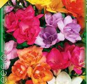 Bulbi de flori Frezii Double Mixed 10buc