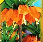 Bulbi de flori Fritillaria imprialis Aurora 1buc