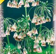 Bulbi de flori Nectaroscordum siculum 5buc