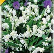 Bulbi de flori Scilla Siberica Alba 10buc