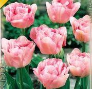 Bulbi de flori Lalea Angelique 10buc