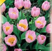 Bulbi de flori Lalea Bakeri Lilac Wonder 10buc
