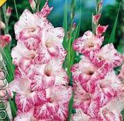 Bulbi de flori Gladiole My Love 10 buc
