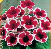 Bulbi de flori Gloxinia Kaiser Friedrich 1 buc