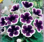 Bulbi de flori Gloxinia Kaiser Wilhelm 1buc