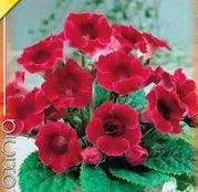 Bulbi de flori Gloxinia Etoile de Feu 1buc