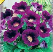 Bulbi de flori Gloxinia Violacea 1buc
