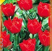 Bulbi de flori Lalea Abba 10buc