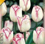 Bulbi de flori Lalea Shirley 10buc